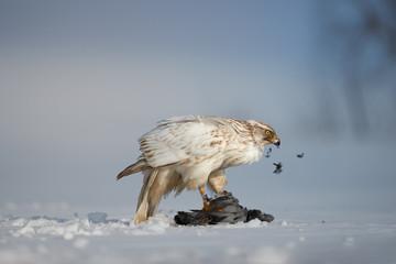 Bird of prey with catch. White Siberian goshawk, Accipiter gentilis albidus  eating dove on snow ground. Low angle photo of rare, white hawk in winter landscape.