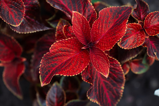 Giant exhibition rustic red coleus in macro. Amazing red leaves with yellow border close-up. Picturesque natural background of rich plant with copy space. Beautiful texture of big coleus leaves.