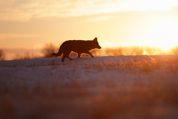 Bohemian shepherd, Canis lupus familiaris, silhouette of purebred rescue dog on snowy field against setting sun. Low angle photo. Active dog on snowy field. Dog breed native to Czech republic.