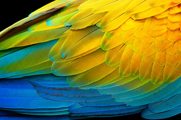 Vivid, intensive blue and yellow colored feather structure of large amazonian Scarlet Macaw parrot, Ara macao.  Wildlife photography, Costa rica.
