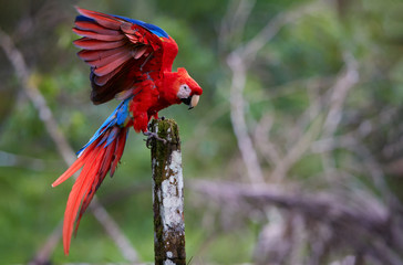 Scarlet Macaw parrot, Ara macao, red and blue, large colorful amazonian parrot with outstretched wings, landing on a stake against green blurred forest background. Wildlife photohraphy, Costa rica.
