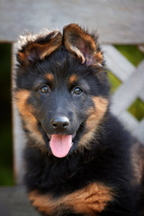 Portrait of  Bohemian shepherd puppy, 2 months old, purebred, with typical marks. Young, black and brown, hairy puppy. Old dog breed native to Czech republic.