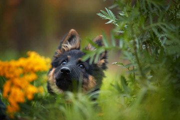 Portrait of Bohemian shepherd puppy, 3 months old, purebred, with typical marks, running on the lawn. Young, black and brown puppy in autumn forest. Dog breed native to Czech republic.