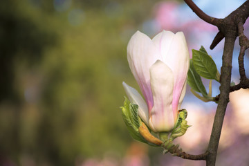 beautiful white blossom of magnolia flower. wonderful spring background. flower close-up