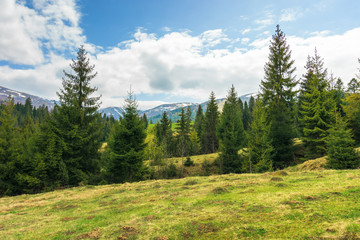 spruce forest on the hill in springtime. row of evergreens on the grassy meadow. distant ridge with spots of snow. cloudy afternoon weather