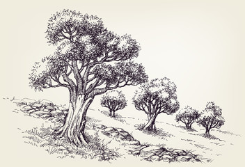 Olive trees orchard hand drawing