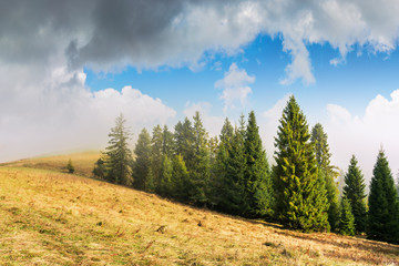 coniferous forest on the hillside in fog. spruce trees down the hill, grassy meadow with weathered grass. beautiful sunny autumn weather with cloudy sky