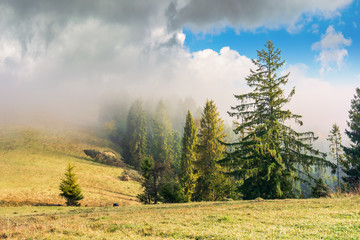 coniferous forest on the hillside in fog. row of evergreens on the hill with weathered grass. beautiful sunny morning weather with cloudy sky