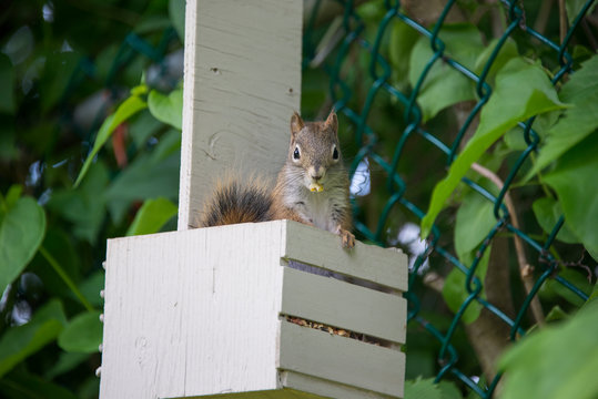 Squirrel in a bird feeder with a seed in its mouth