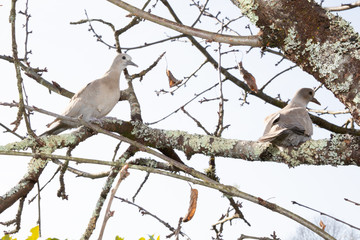 Turtledove on a branch of a silver poplar Eurasian Collared Dove (Streptopelia decaocto)