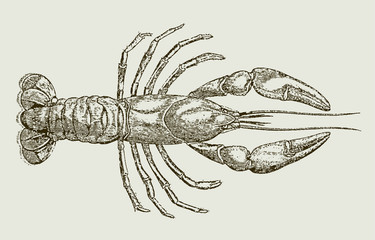 Parastacus brasiliensis, a freshwater crayfish from brazil in top view. Illustration after a historical engraving, etching or lithography from the 19th century. Easy editable in layers