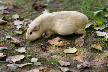 Full body of beige domestic guinea pig (Cavia porcellus) cavy in the garden
