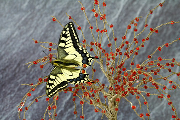 swallowtail butterfly, jewel of nature