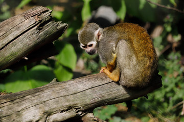 Full body of the squirrel simian monkey on the tree trunk