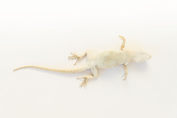Lizard on white background. A beige lizard that lies on its back. Lizard skin texture. Reptiles. Terrestrial vertebrates. Anatomy of a lizard. Body build.