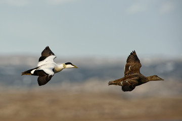 Flying Common Eider -  Somateria mollissima is a large sea-duck that is distributed over the northern coasts of Europe, North America and eastern Siberia