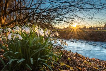 Schneeglöckchen am Bachufer der Einbecker Ilme leuchten im Sonnenuntergang