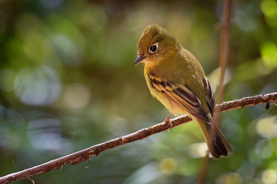 Yellowish Flycatcher - Empidonax flavescens - small passerine bird in the tyrant flycatcher family. It breeds in highlands from southeastern Mexico south to western Panama