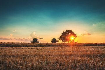 Wall Mural - Combine harvester machine working in a wheat field at sunset. Lonely tree