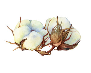 Two dry fluffy white cotton flowers (also known as upland cotton or Mexican). Hand drawn watercolor painting illustration isolated on white background.