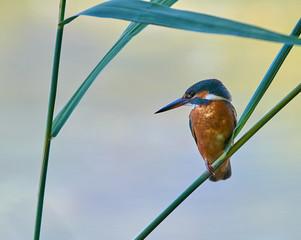 European Kingfisher (Alcedo atthis).