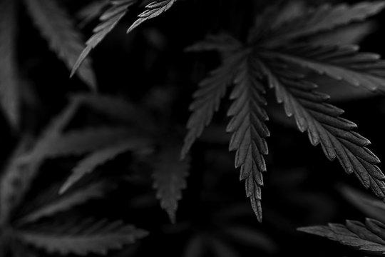 marijuana black background. bush cannabis.