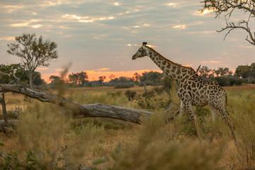 Giraffe on the plains of Africa