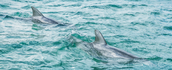 Fotobehang Dolfijn Two dolphins swimming in blue ocean water in Key West, Florida, USA travel banner panorama.
