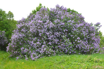 Printed kitchen splashbacks Lilac huge Bush of blooming lilac on a green meadow