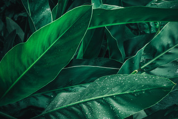 Large foliage of tropical leaf in dark green with rain water drop texture,  abstract nature background