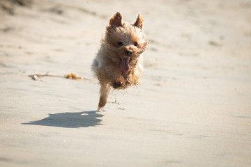Yorkshire Terrier Playing on the Beach