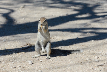 South African ground squirrel Xerus inauris sitting