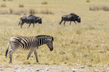 Wild zebras walking in the African savanna with gnu antelopes on background