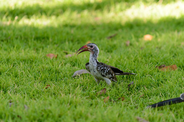 Yellow-billed Toko on the grass