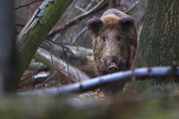 Wild pig in the old forest