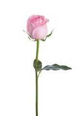 Keuken foto achterwand Roses Light pink rose isolated on white background.