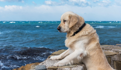 Golden Retriever Standing and Looking at the Mediterranean Sea in Southern Italy