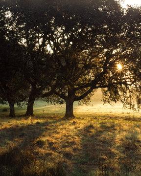Oregon White Oak Sunrise - Sun shines through a white oak in the WIllamette Valley, Oregon