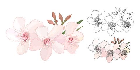 Set of Floral composition with branch of delicate pink and black and white blooming flowers, buds and leaves isolated on white background. Tropical flowers oleander, exotic Nerium. illustration
