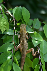brown chameleon on the star fruit tree in the morning looking for food.