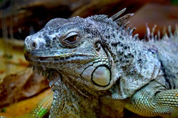 The green  iguana  is a large herbivorous lizard of the Iguana family, which leads the daily woody way of life. It lives in Central and South America