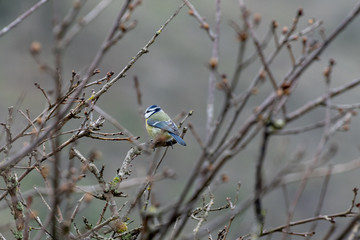 Eurasian blue tit searching for food in mid winter