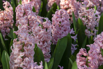 Pink Hyacinthus, Species orientalis, Hyacinth. Attractive spring bulbous flowers.