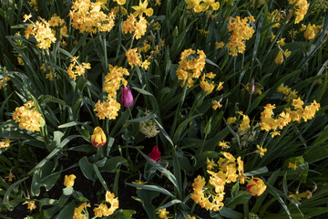 Dwarf narcissue, daffodils flowers.  Spring perennial plant. mixed with Tulips.