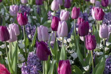 Tulip flowers with stems. spring blooming plants.