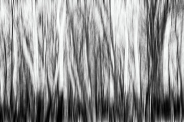 Natural forest with black and white birch trees without leaves in winter. Black and White