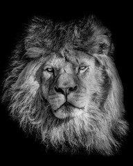 Wall Mural - Black and white poster lion