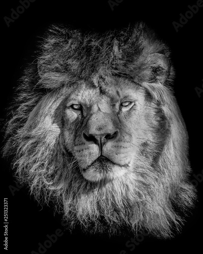 Fototapete Black and white poster lion