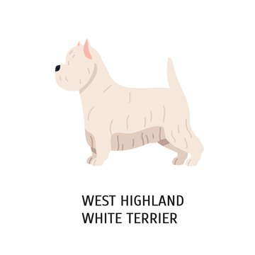 West Highland White Terrier or Westie. Lovely funny dog of working breed isolated on white background. Fluffy adorable purebred domestic animal. Colorful vector illustration in flat cartoon style.