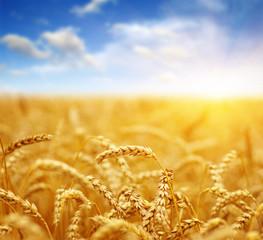 Wheat field on sun.